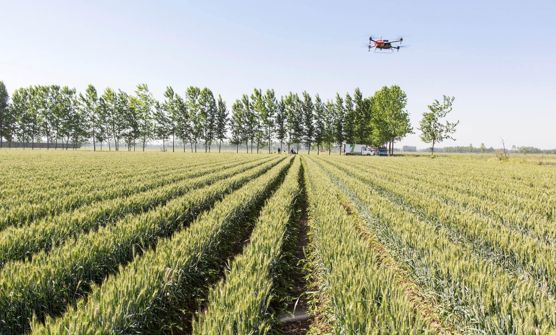 无人机小麦.jpg